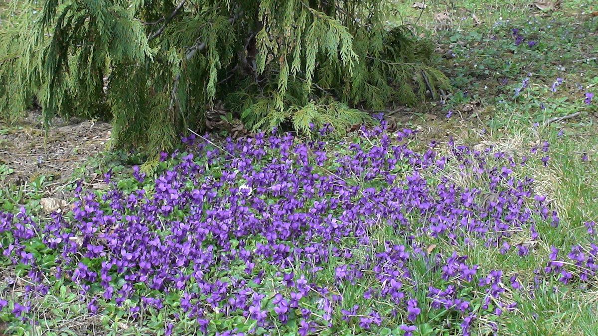 Plantes Vivaces Couvre Sol Page 3 Au Jardin Forum De Jardinage